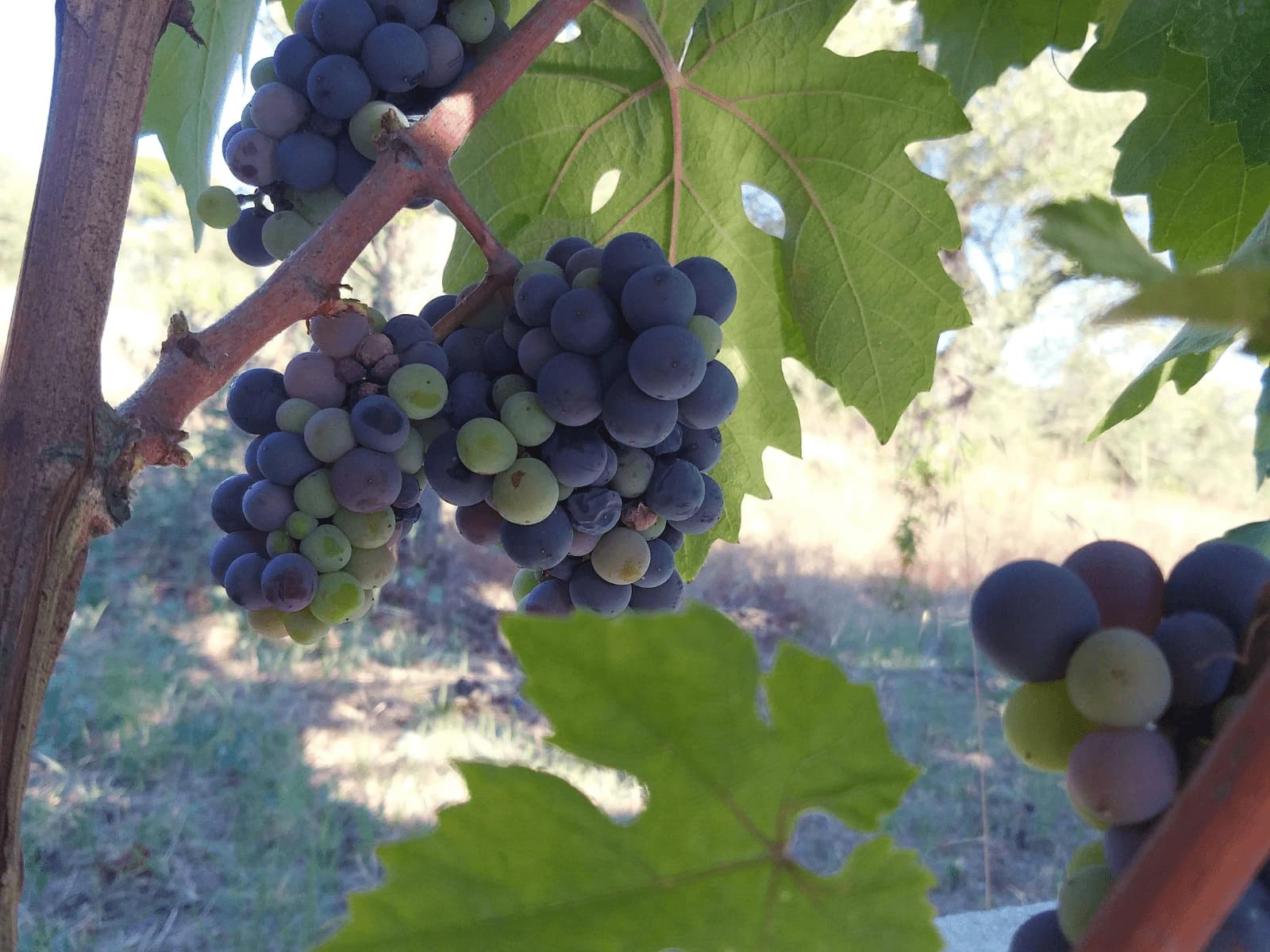 גפנים וענבים בסיטוניה יוון