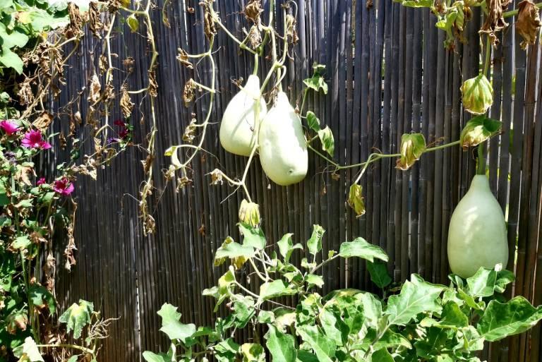 דלעות שצומחות בגינה הפרטית שלי