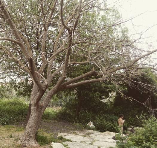 עץ תות. מעיין אלרואי