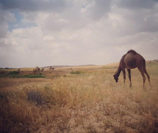 גמל בדרום ישראל, ליד עין ירקעם